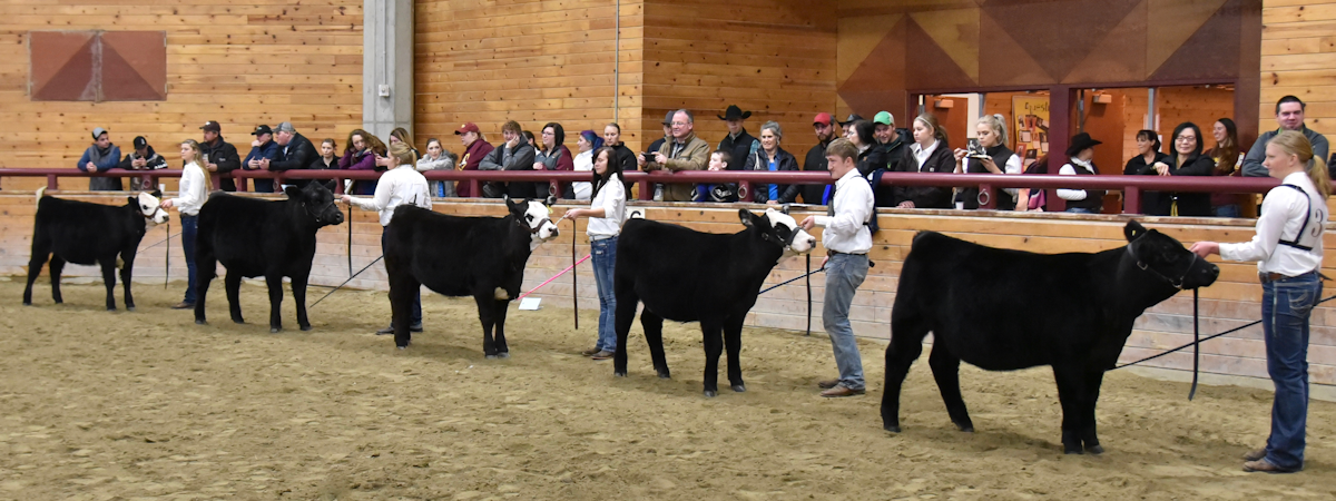 students showing cattle