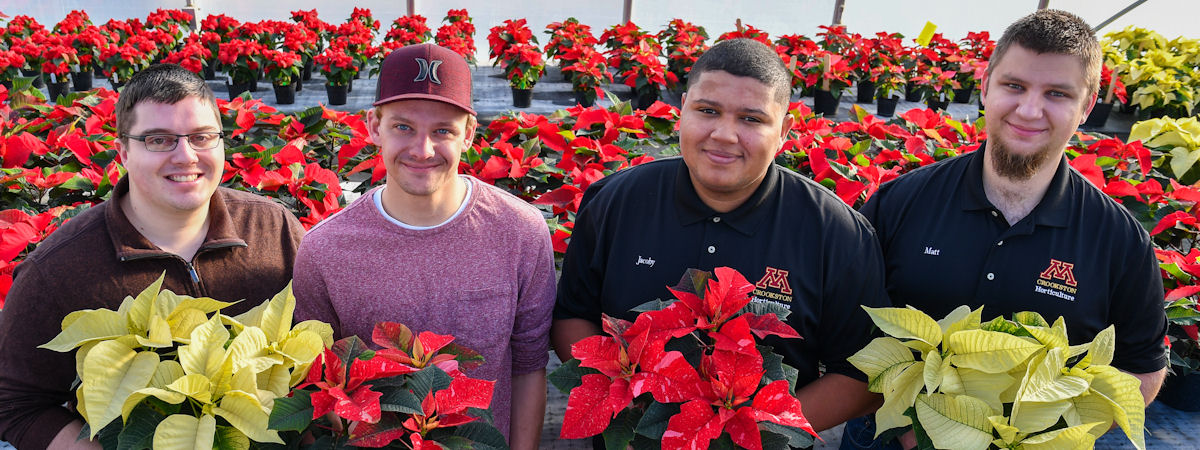 Four students in the greenhouse with poinsettia crop