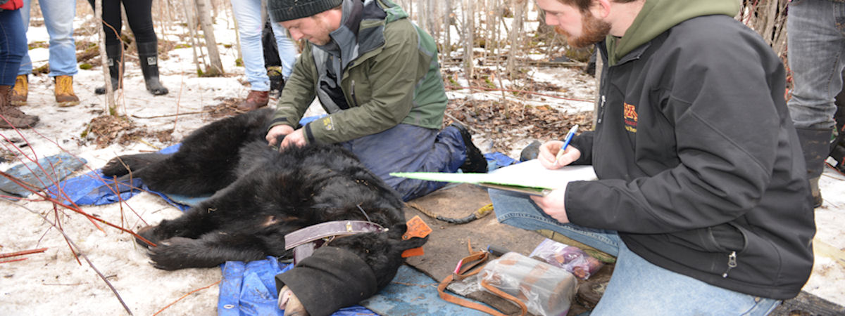students and scientists monitor a hibernating bear