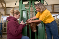 Instructor and student ear tagging a cow in a cow shoot
