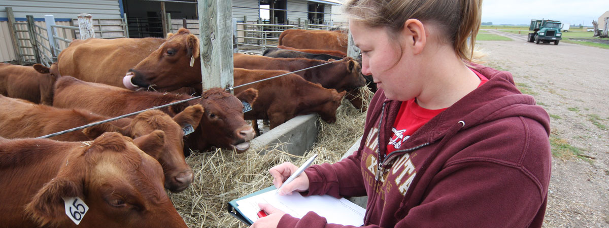 A student is grading cows