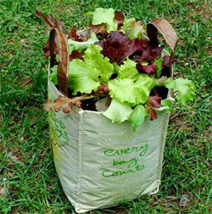 Salad growing in a reusable grocery bag