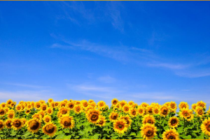 Sunflower field with a bright blue sky