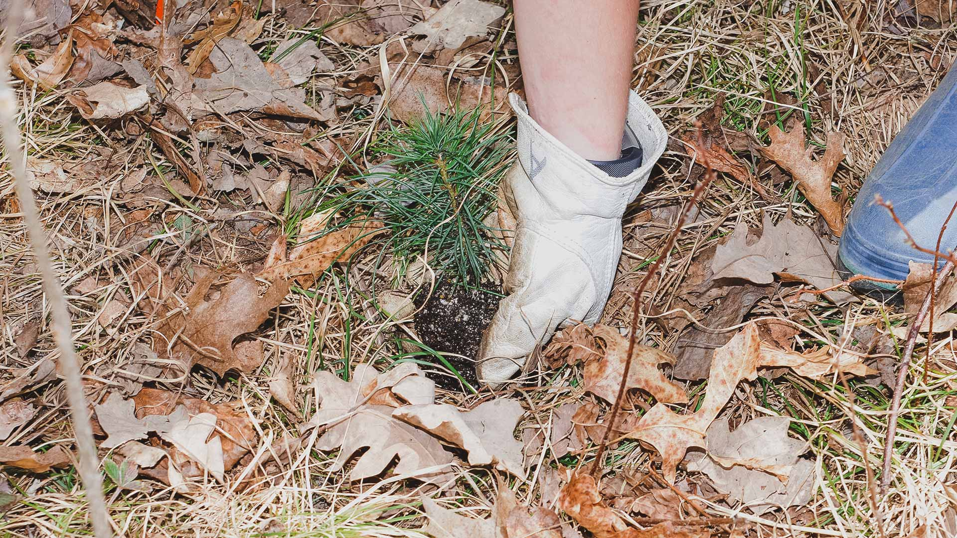 UMN Crookston Student planting a pine tree in the woods